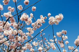 桜の素材 [FYI00386625]