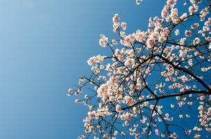 桜の素材 [FYI00386626]