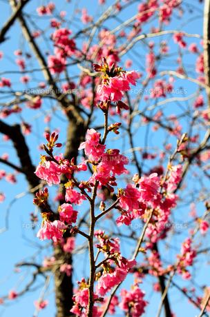 寒緋桜の素材 [FYI00386636]
