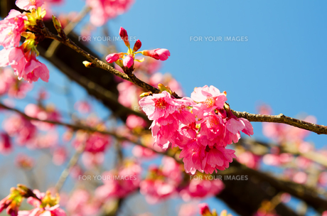 寒緋桜の素材 [FYI00386638]