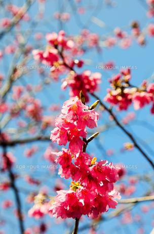 寒緋桜の素材 [FYI00386641]