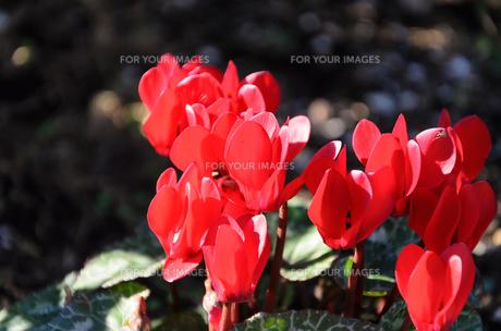 シクラメンの花の素材 [FYI00386644]