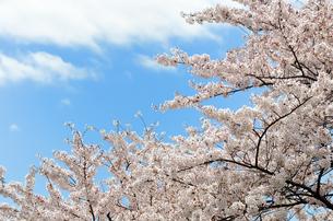 桜の花の素材 [FYI00386645]