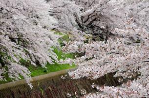桜の花の素材 [FYI00386651]