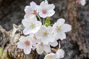 桜の花の素材 [FYI00386656]