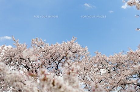 桜の花の素材 [FYI00386667]