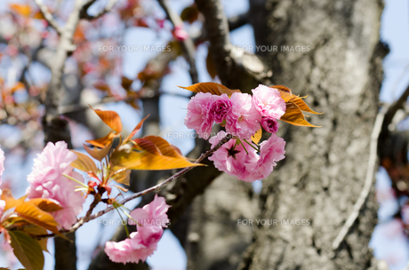 八重桜の素材 [FYI00386668]