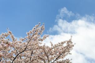 桜の花の素材 [FYI00386670]