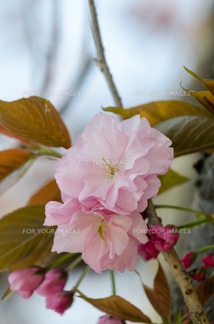 八重桜の素材 [FYI00386675]
