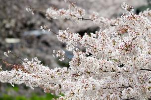 桜の花の素材 [FYI00386681]