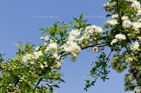 木香薔薇 白色の素材 [FYI00386702]