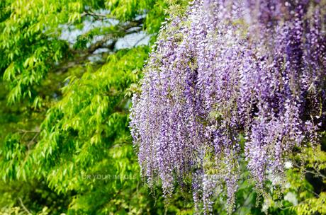 藤の花の素材 [FYI00386733]
