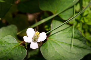 ドクダミの花の素材 [FYI00386795]