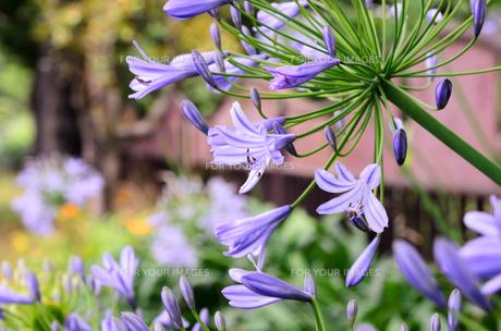 青色のアガパンサスの花の素材 [FYI00386815]