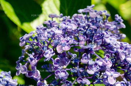 青色の紫陽花の素材 [FYI00386822]