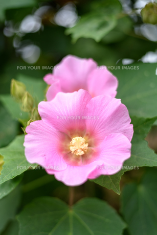 芙蓉の花の素材 [FYI00386961]