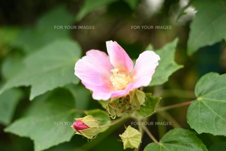 芙蓉の花の素材 [FYI00386985]