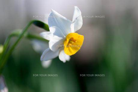 白い水仙の素材 [FYI00387201]