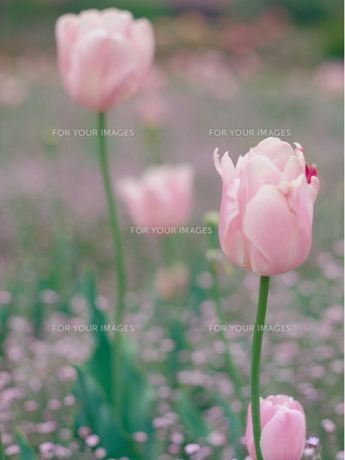 ピンクのチューリップの素材 [FYI00387266]