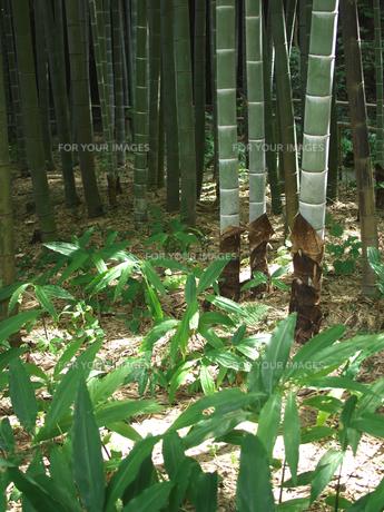 成長した竹の子の素材 [FYI00387281]