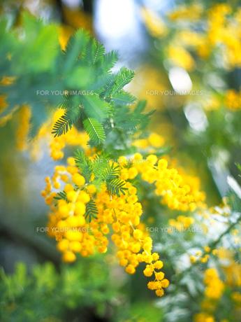 ミモザの花の素材 [FYI00387285]
