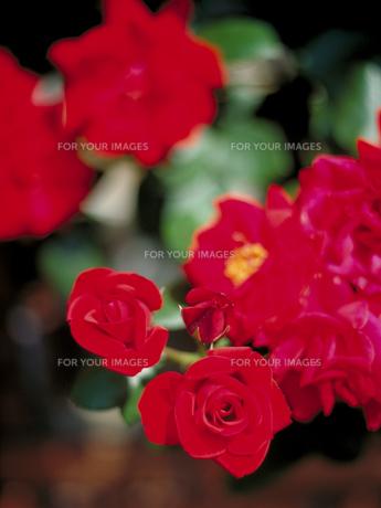 真紅のバラの写真素材 [FYI00387301]
