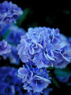 ブルーのアジサイの写真素材 [FYI00387306]