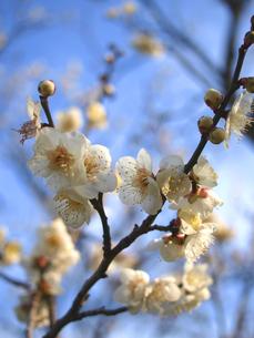梅の花の素材 [FYI00387314]