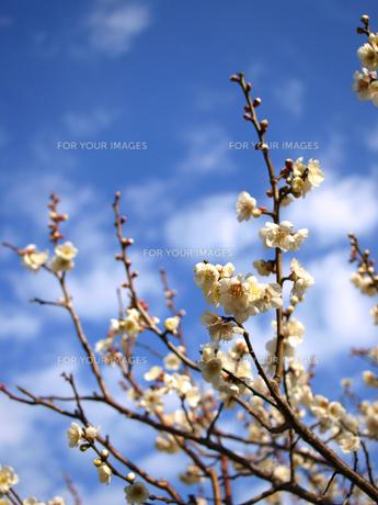 青空と梅の花の素材 [FYI00387319]
