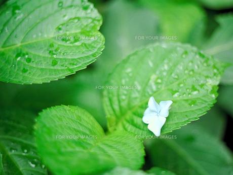 雨上がりのアジサイの葉の素材 [FYI00387334]