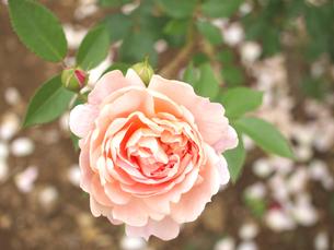 真上から見たバラの写真素材 [FYI00387337]