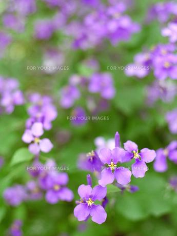 紫のハナダイコンの素材 [FYI00387346]