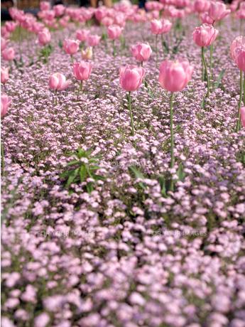 ピンクのチューリップ畑の素材 [FYI00387347]