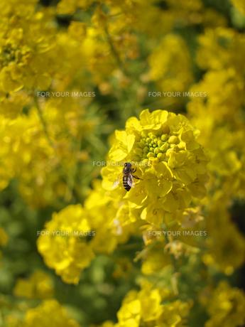 ハチと菜の花の素材 [FYI00387349]