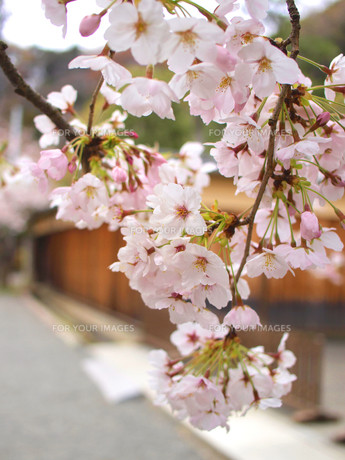 風情ある桜の素材 [FYI00387350]