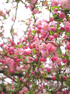 春を告げる海棠の素材 [FYI00387351]