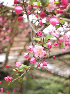 咲き始めの海棠の素材 [FYI00387355]