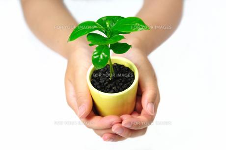 若葉の鉢植えを持つ女性の手の素材 [FYI00387377]