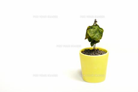 枯れたコーヒーの木の素材 [FYI00387378]