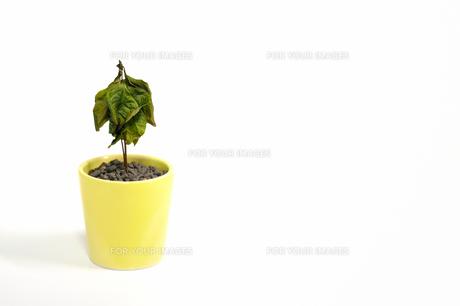 枯れたコーヒーの木の素材 [FYI00387392]