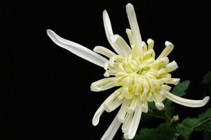白菊の素材 [FYI00387657]