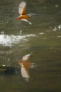 カワセミの水浴びの写真素材 [FYI00388115]