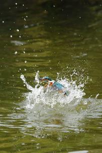 魚を捕ったカワセミの写真素材 [FYI00388524]