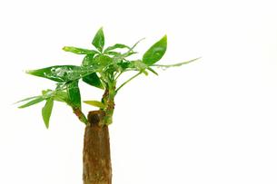 パキラの木の素材 [FYI00388749]