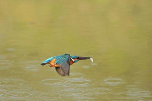 小魚を咥え飛ぶカワセミの写真素材 [FYI00388751]