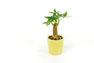 パキラの木の素材 [FYI00388756]