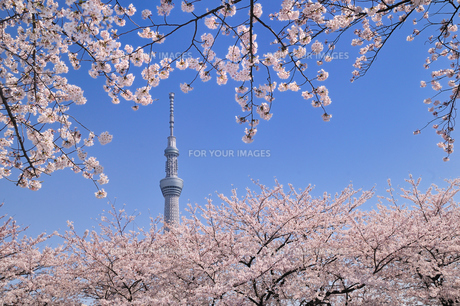 スカイツリーと桜の素材 [FYI00388943]