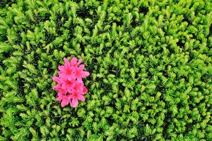 緑の中のピンクツツジの写真素材 [FYI00389007]