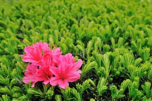 緑の中のピンクツツジの写真素材 [FYI00389010]