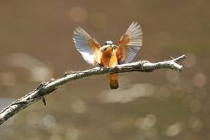 枝に留る瞬間のカワセミの写真素材 [FYI00389147]